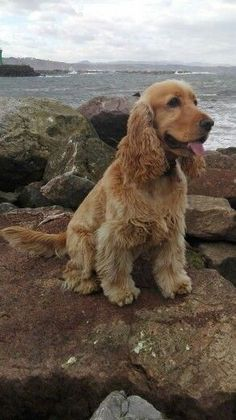 "Discover more information on ""cocker spaniel puppies"". Check out our web site. Perro Cocker Spaniel, Cocker Spaniel Anglais, English Cocker Spaniel Puppies, English Spaniel, Cute Puppies, Cute Dogs, Dogs And Puppies, Doggies, Cockerspaniel"
