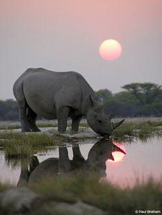 A black rhino arrives early at a secret waterhole to ...