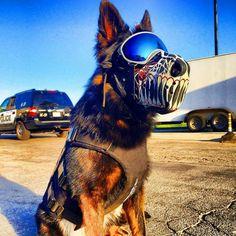 California City, CA Police K9 Ty #RexSpecs #WorkingDogDryGoods Military Working Dogs, Military Dogs, Police Dogs, Dog Armor, Belgian Malinois Dog, Belgium Malinois, Dog Muzzle, War Dogs, German Shepherd Dogs