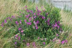 So next time you notice Lathyrus latifolius flowering by the side of the road (as in Suffolk in eastern England, below, click to enlarge) remember what a fine garden plant it is and look out for the best varieties.