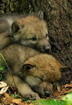 WOLVES : Photo I want to cuddle them!! <3