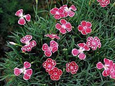 Dianthus/tarhaneilikka