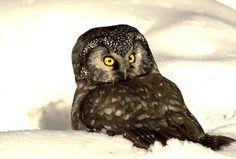 owls in the snow | Boreal Owl In Snow I Alaska Travel Photos