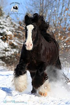 gypsy vanner draft horse running in the snow