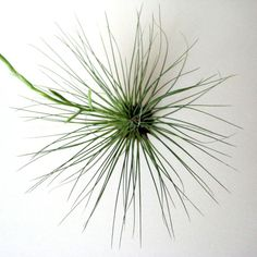 Tillandsia filifolia // Air Plant by seaandasters on Etsy...I want one!