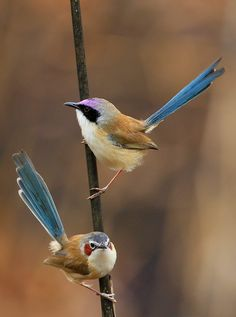 PURPLE-CROWNED FAIRY-WRENS