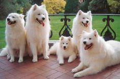 Samoyeds such gentle,  beautiful dogs.  I ♥ them so much....I sure miss the Samoyeds that we had, especially Hoss.