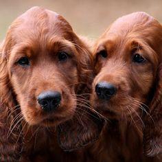 Irish Setter puppies, Charlotte Godart's  puppies, Belgium
