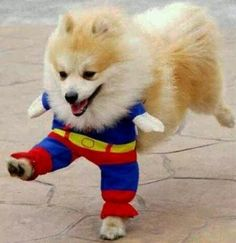 Superman Halloween dog costume. If only they had this in Spiderman for (Peter) Parker!