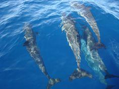 Dolphins, Pacific Ocean, Puerto Escondido, Oaxaca, Mexico