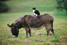 cat sitting on donkey's back friends living on the same farm. the donkey is alone in the pasture and the cat often keeps it company in this way. I Love Cats, Crazy Cats, Cute Cats, Funny Cats, Animals And Pets, Baby Animals, Funny Animals, Cute Animals, Especie Animal