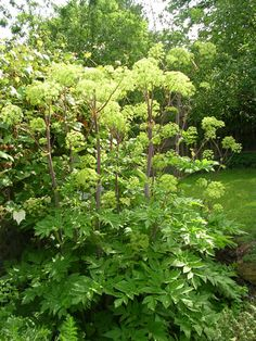 Blooming angelica makes a statement in the herb garden.