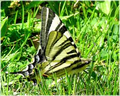 -Papilio- Baby Names Scottish, Floating Flowers, Lilacs, Dragonflies, Moth, Butterflies, Wings, Gardens, Nature