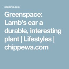 Greenspace: Lamb's ear a durable, interesting plant | Lifestyles | chippewa.com