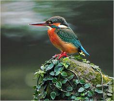 #381 小翠蔓駐 (Stand By) | 翠鳥.攝於台灣 台北市 草山 River Kingfisher, take… | Flickr
