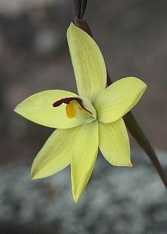 Lemon scented sun orchid | Flickr - Photo Sharing!