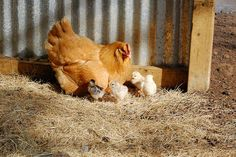 Mother hen and babies by radargeek, via Flickr