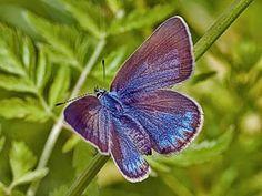 Hopeasinisiipi, Plebeius amandus - Perhoset - LuontoPortti Butterfly On Flower, Butterfly Species, Flying Flowers, Finland, Fairies, Beautiful Things, Bugs, Lilac, Amanda