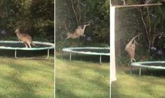 The hilarious vision shows the kangaroo in a Queensland backyard, in Australia, badly judging a jump off a trampoline.