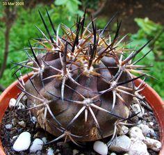Copiapoa echinoids [Family: Cactaceae[