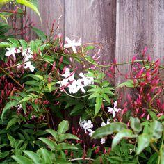 pink jasmine - grows faster than white jasmine (both grow better in full sun)