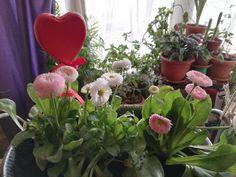 Bănuței sau părăluțe – Plante decorative și medicinale Plants