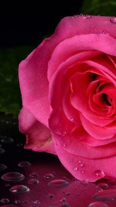Pink Rose flowers Tumblr iPhone wallpaper Download   Traxzee