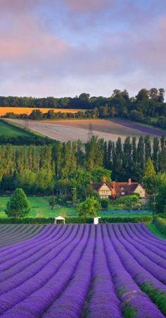 Castle Farm Lavender harvest in Shoreham, Kent, England.