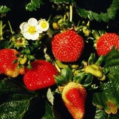 Protect your strawberry bed from hungry ants.