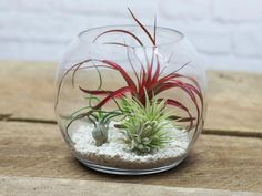 From coffee table, to office, to dining room, this simple yet striking air plant terrarium will add natural beauty to your space. Showcase your beautiful Tillandsia in a tabletop glass terrarium, larg Air Plant Terrarium, Terrarium Diy, Glass Terrarium, Hanging Terrarium, Air Plant Display, Plant Decor, Air Plants, Indoor Plants, Top Air