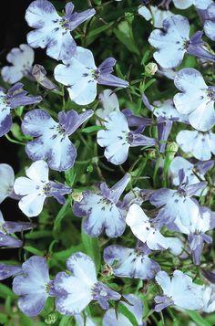 851. LOBELIA erinus RIVIERA BLUE SPLASH