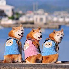 Cool Shiba Inu outfits.