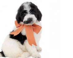 Available Puppies | Teddybear Goldendoodles