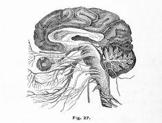 brain; optic; internal; hemisphere