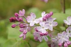 「lilacs」の画像検索結果