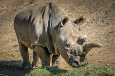 Nearly Extinct. Nola is one of 7 Northern white #rhinos left in the world. Beyond breeding age, she lives at the San Diego Zoo Safari Park.