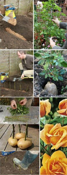 How to Propagate Roses Using Potatoes (i had no idea this was possible, such a cool tip!!!) Ummmm....someone with the Canadian rose....I need a cut to try.