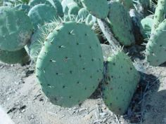 Opuntia durangensis