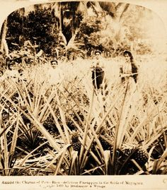 Puerto Rico pineapple farm 1899~Puerto Ricos pineapple is known as the golden sweet :) the best!