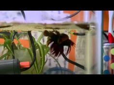 Video: Step by step guide to breeding betta fish Breeding Betta Fish, Home Aquarium, Beta Fish, Freshwater Aquarium Fish, Siamese Fighting Fish, Two Fish, Colorful Fish, Step Guide, Under The Sea