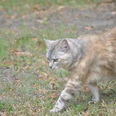Luna walking... 2/3    #luna #cat #cats #pet #petstagram #nature #kitten #kittens #catstagram #cutie #pets #kitty #catlovers #catsofinstagram #animal #sweet #funpetlove #catlover #ilovemycat #ilovemypet #instapets #petsagram #picpets #instacat #love #music #faces #coffee