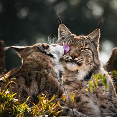 A pair of Boreal lynx groom each other on a rocky hilltop at the Cabarceno wildlife park in Villaescusa, Spain. Marina Cano. http://www.marinacano.com/