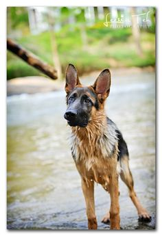 german shepard..my favourite breed :)