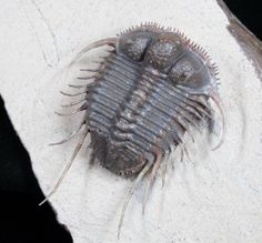 fossilera: Just added for sale at FossilEra.comThis is a truly phenomenal trilobite specimen. It's a huge example of the rare, long-spined species of Cyphaspides quarried near Jorf, Morocco. The preservation on the trilobites is very unique with an almost plastic like appearance, but it's totally natural. The preparation is on this specimen is absolutely mind-blowing. The matrix has been removed from all of the tiny spines, so that they hover above the surface of the rock. It would have…