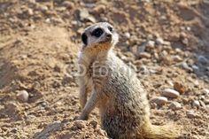 beautiful meerkat © lizascotty
