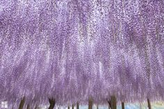 Wisteria flowers are in full bloom!! by Hiromitsu Kondo on 500px