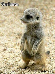 Baby Suricata (Meerkat)