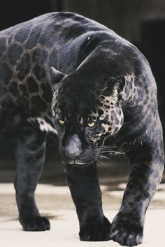Jaguar- very unique panther.my totem isn't a panther though. Majestic Animals, Rare Animals, Cute Baby Animals, Animals And Pets, Wild Animals, Beautiful Cats, Animals Beautiful, Big Cats, Cats And Kittens