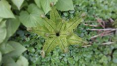 Little Green star - Fern plant