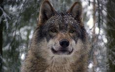 """WWF: """"Negli ultimi 6 mesi solo il 6% dei lupi è morto per cause naturali"""""""